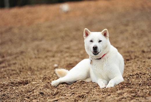 Các giống chó thuần Nhật Bản đẹp nhất