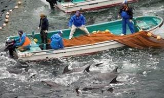 Ngư dân Nhật dùng lưới bắt cá heo
